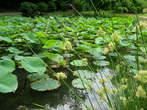 Indijski lotos (lokvanj)