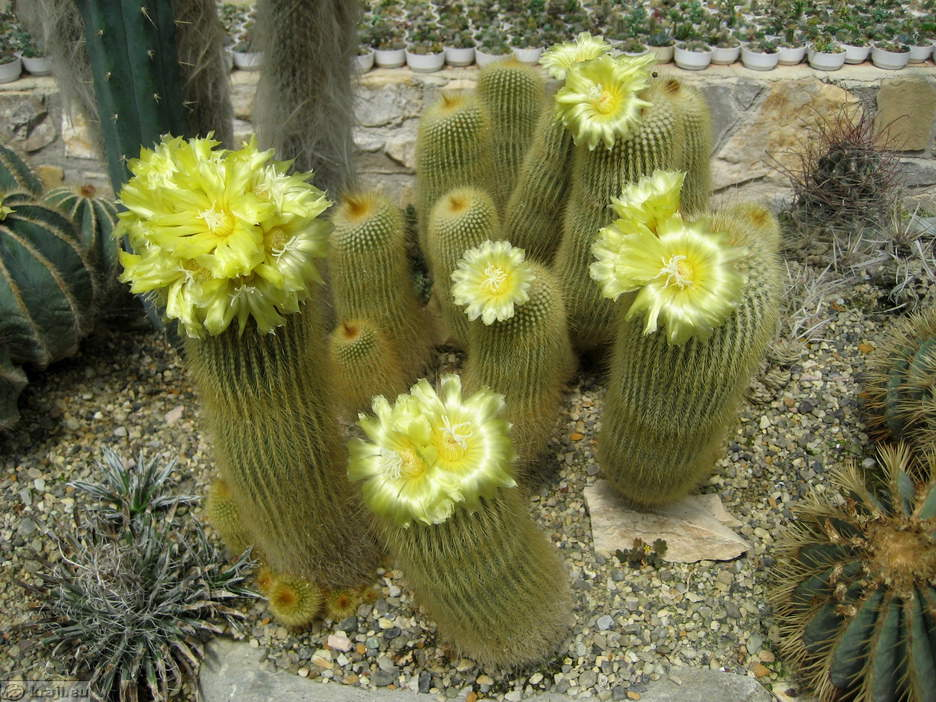 Garden of cacti close view of cacti close view of cacti cactus with yellow flowers mightylinksfo